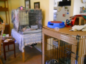 The living room full of kittens in crates.